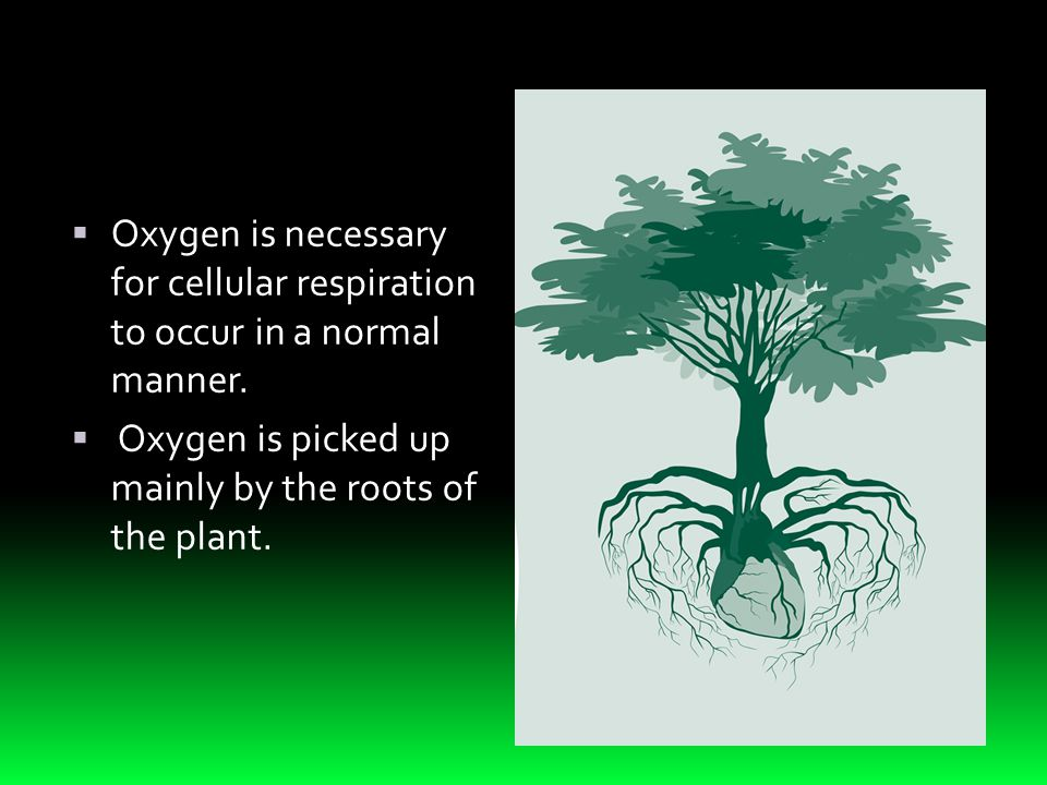  Oxygen is necessary for cellular respiration to occur in a normal manner.  Oxygen is picked up mainly by the roots of the plant.