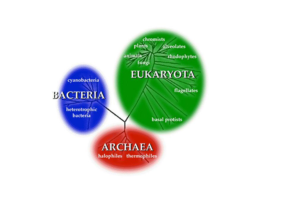 Domain Archaea Kingdom Archaebacteria
