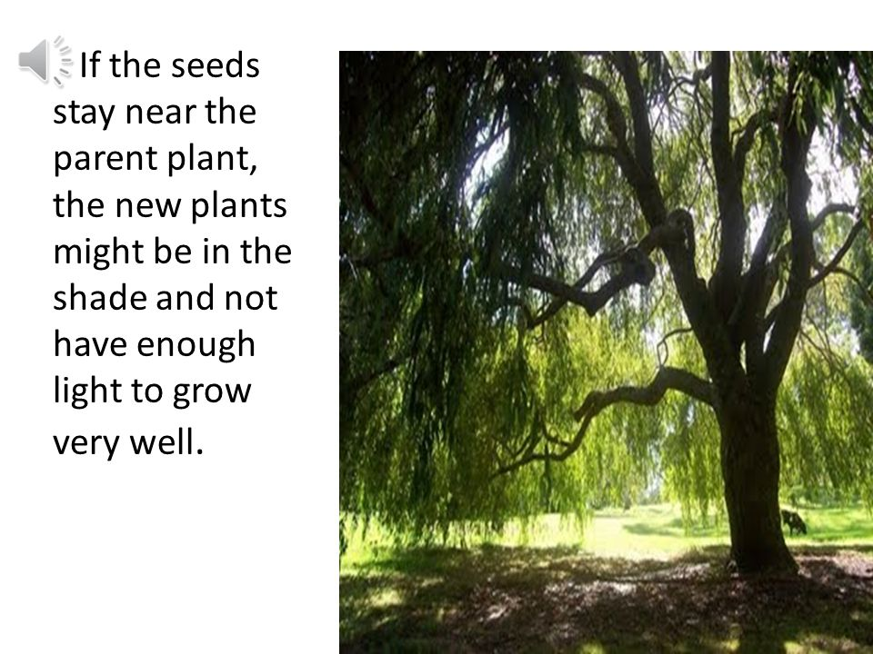 v c Birds may carry seeds far away from the parent plant.