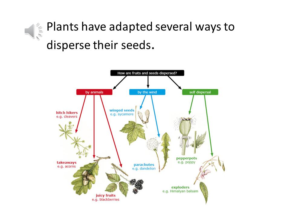 v c Plants have adapted several ways to disperse their seeds.