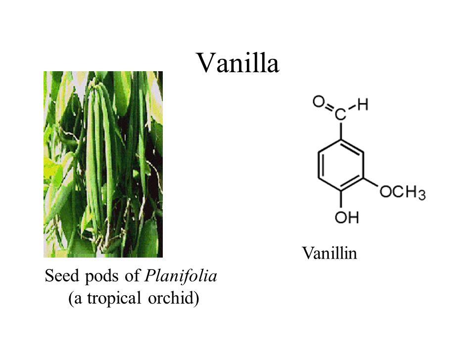 Vanilla Vanillin Seed pods of Planifolia (a tropical orchid)