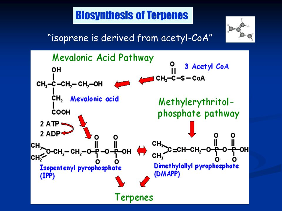 "Biosynthesis of Terpenes ""isoprene is derived from acetyl-CoA"""