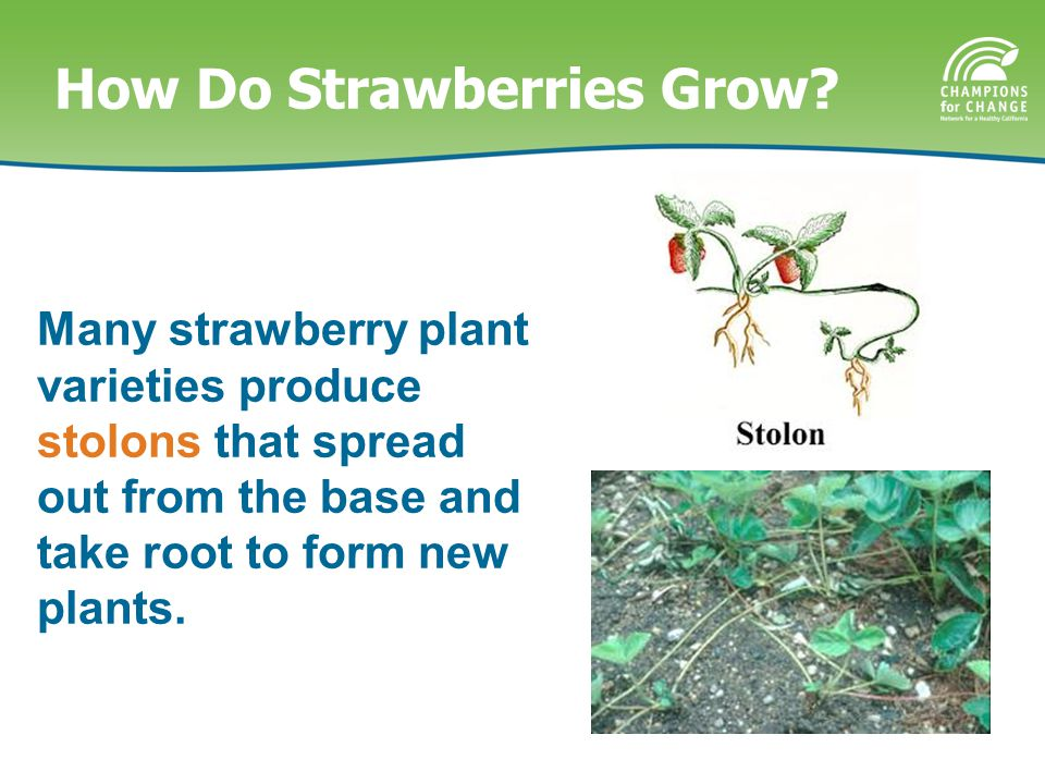 How Do Strawberries Grow? On average, it takes about 30 days for flowers to develop into fruit.