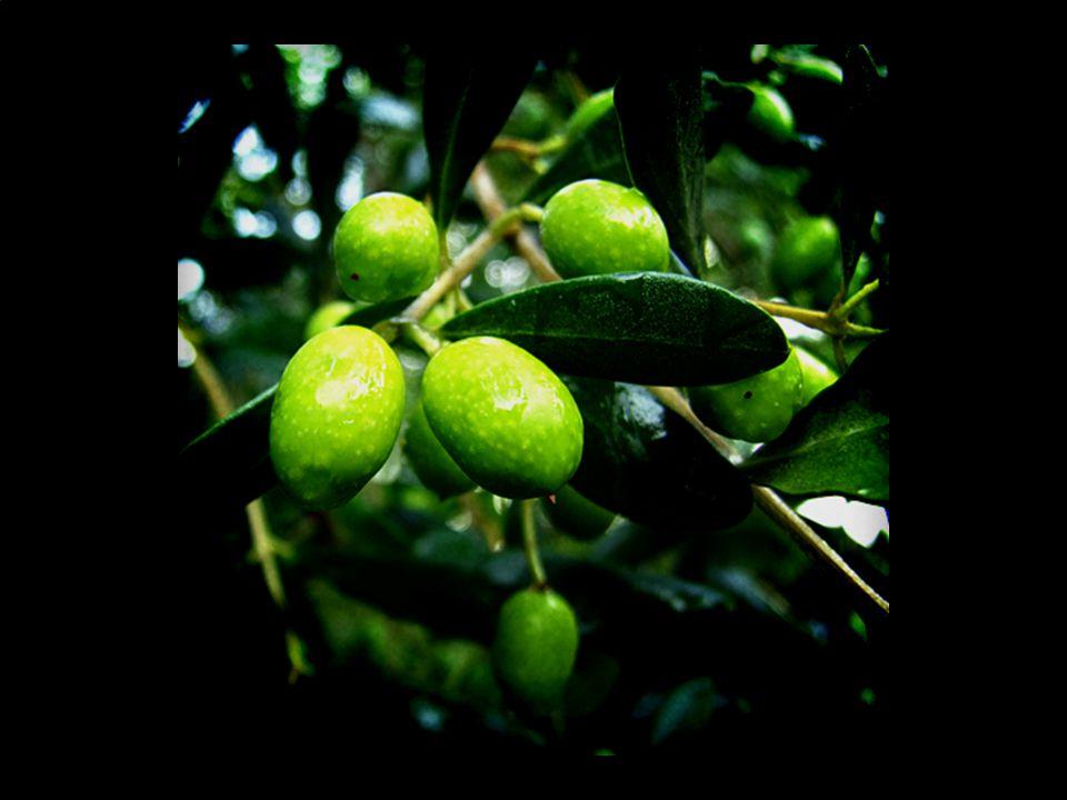 (olive #1)