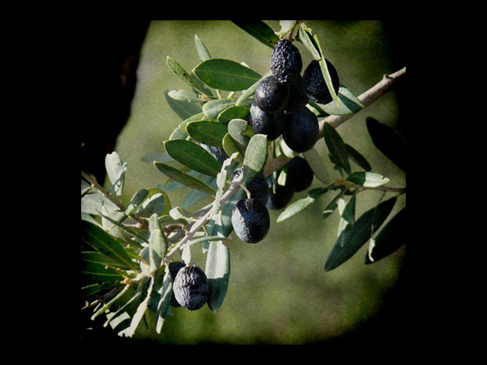 (olive #2)