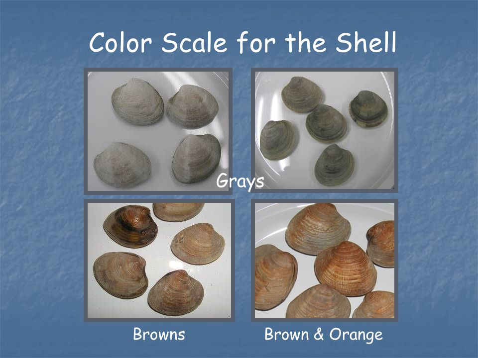 Brown & OrangeBrowns Color Scale for the Shell Grays