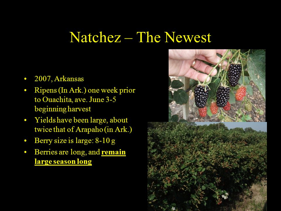 Natchez – The Newest 2007, Arkansas Ripens (In Ark.) one week prior to Ouachita, ave.
