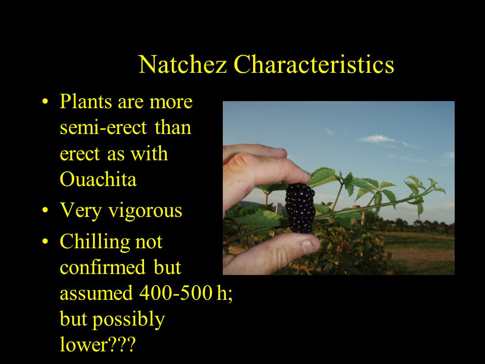 Natchez Characteristics Plants are more semi-erect than erect as with Ouachita Very vigorous Chilling not confirmed but assumed 400-500 h; but possibly lower