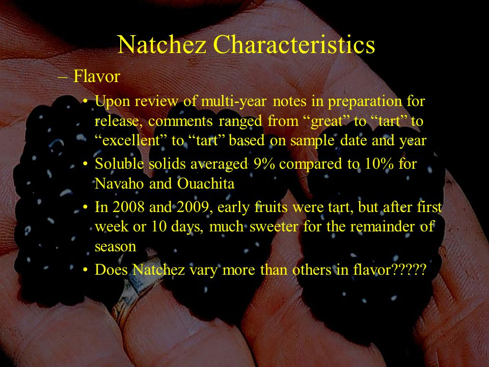 Natchez Characteristics –Flavor Upon review of multi-year notes in preparation for release, comments ranged from great to tart to excellent to tart based on sample date and year Soluble solids averaged 9% compared to 10% for Navaho and Ouachita In 2008 and 2009, early fruits were tart, but after first week or 10 days, much sweeter for the remainder of season Does Natchez vary more than others in flavor