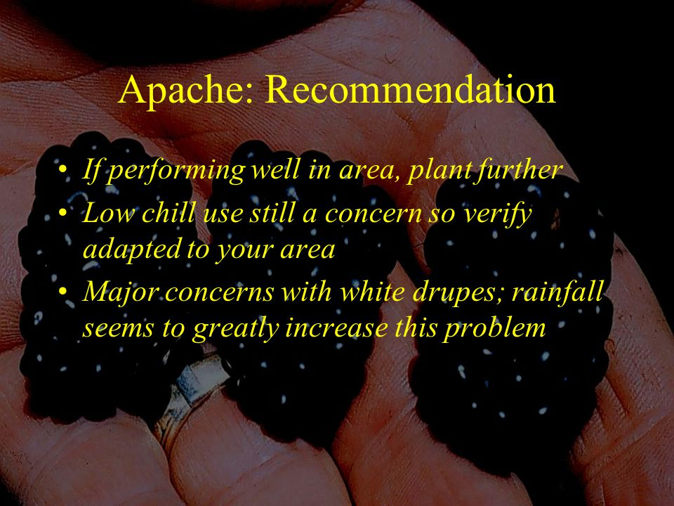 Apache: Recommendation If performing well in area, plant further Low chill use still a concern so verify adapted to your area Major concerns with white drupes; rainfall seems to greatly increase this problem