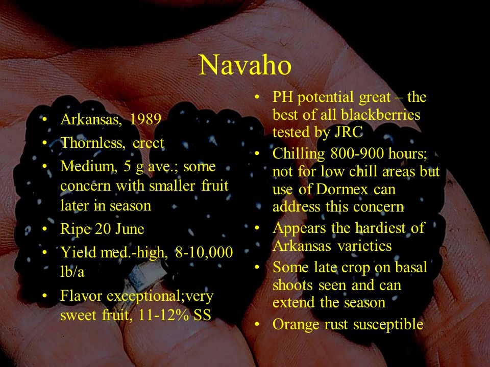 Navaho Arkansas, 1989 Thornless, erect Medium, 5 g ave.; some concern with smaller fruit later in season Ripe 20 June Yield med.-high, 8-10,000 lb/a Flavor exceptional;very sweet fruit, 11-12% SS PH potential great – the best of all blackberries tested by JRC Chilling 800-900 hours; not for low chill areas but use of Dormex can address this concern Appears the hardiest of Arkansas varieties Some late crop on basal shoots seen and can extend the season Orange rust susceptible