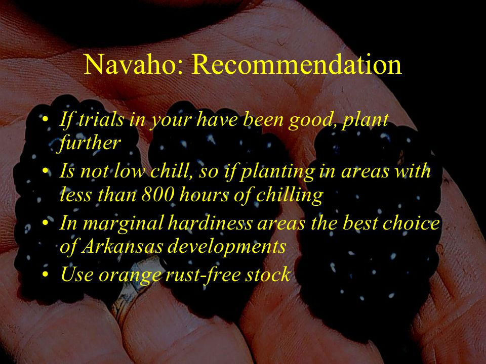 Navaho: Recommendation If trials in your have been good, plant further Is not low chill, so if planting in areas with less than 800 hours of chilling In marginal hardiness areas the best choice of Arkansas developments Use orange rust-free stock