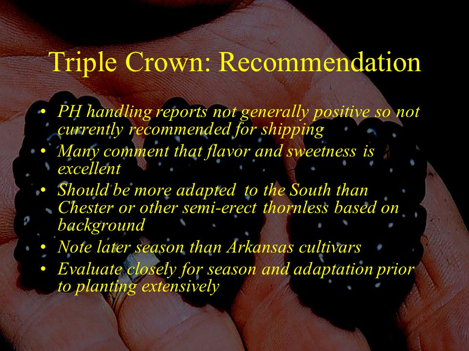 Triple Crown: Recommendation PH handling reports not generally positive so not currently recommended for shipping Many comment that flavor and sweetness is excellent Should be more adapted to the South than Chester or other semi-erect thornless based on background Note later season than Arkansas cultivars Evaluate closely for season and adaptation prior to planting extensively