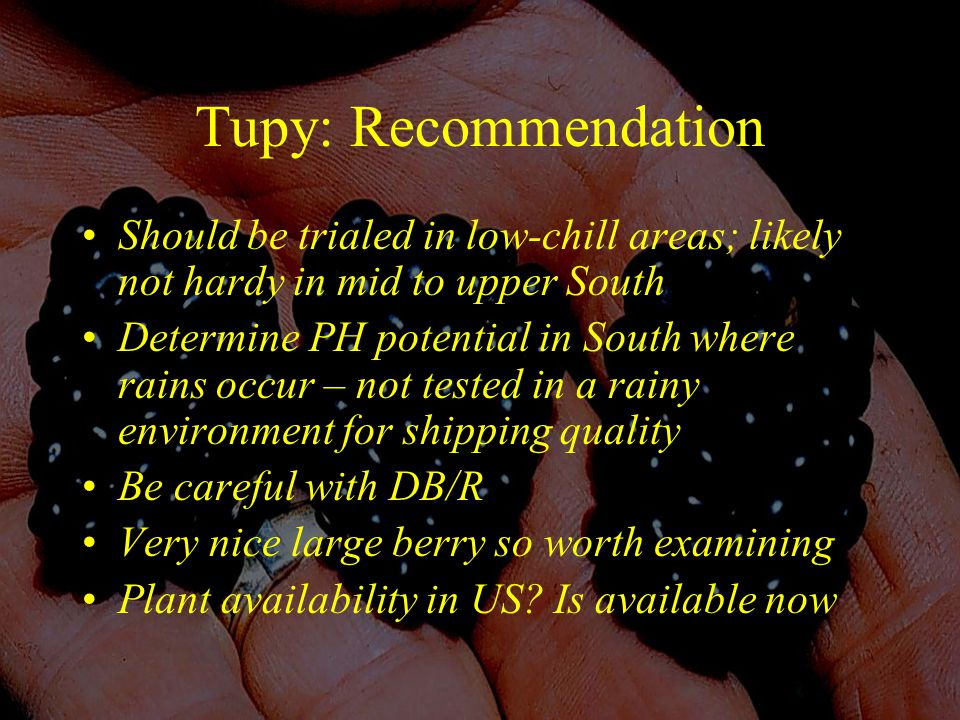 Tupy: Recommendation Should be trialed in low-chill areas; likely not hardy in mid to upper South Determine PH potential in South where rains occur – not tested in a rainy environment for shipping quality Be careful with DB/R Very nice large berry so worth examining Plant availability in US.