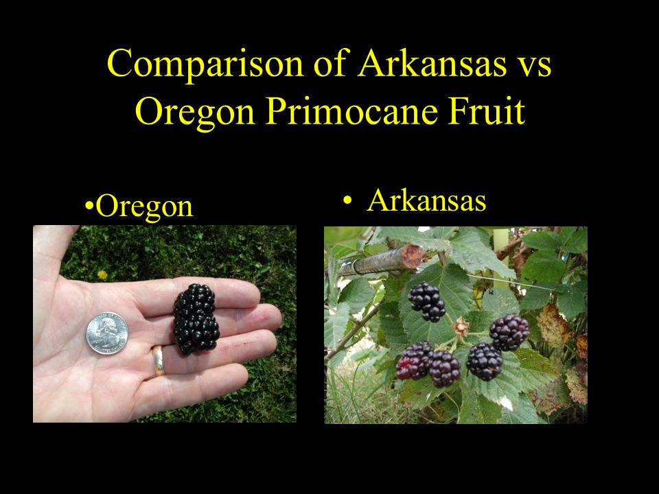 Comparison of Arkansas vs Oregon Primocane Fruit Arkansas Oregon