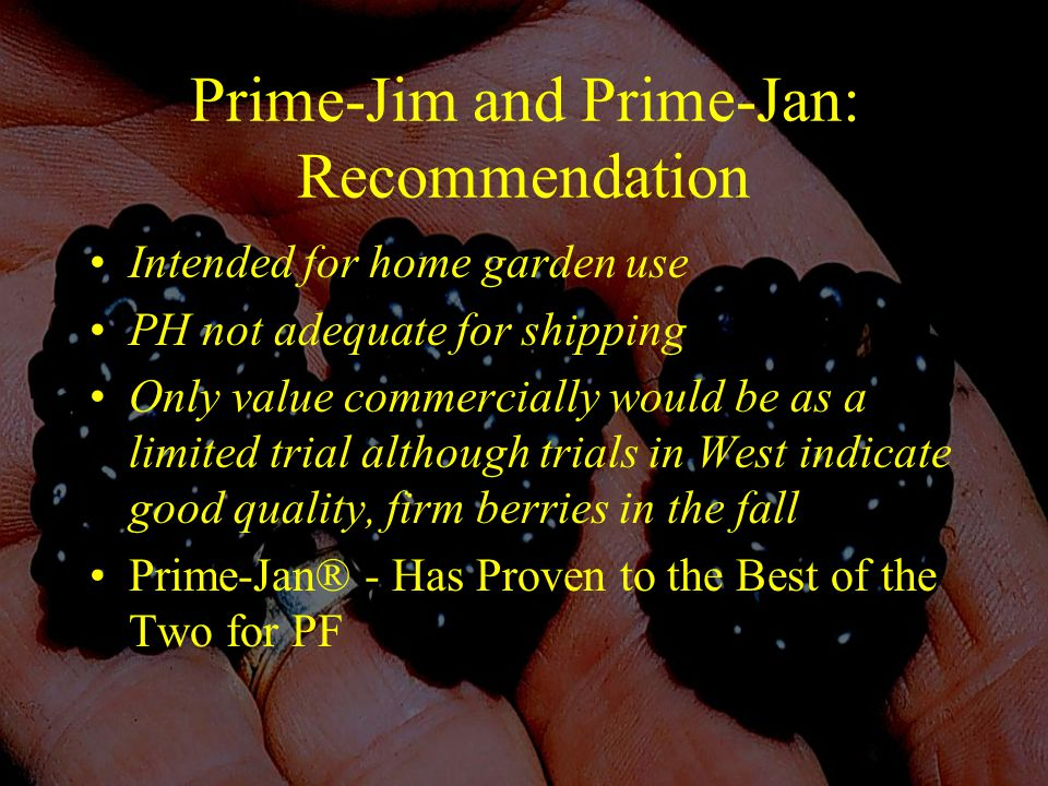 Prime-Jim and Prime-Jan: Recommendation Intended for home garden use PH not adequate for shipping Only value commercially would be as a limited trial although trials in West indicate good quality, firm berries in the fall Prime-Jan® - Has Proven to the Best of the Two for PF