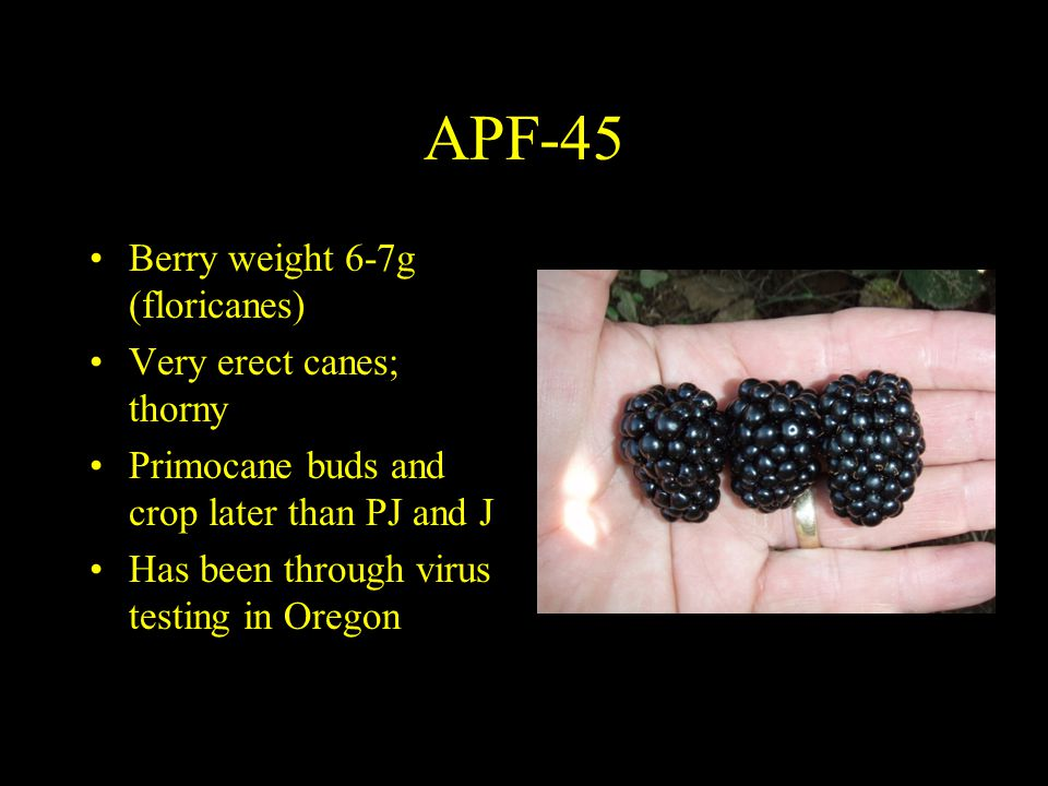 APF-45 Berry weight 6-7g (floricanes) Very erect canes; thorny Primocane buds and crop later than PJ and J Has been through virus testing in Oregon