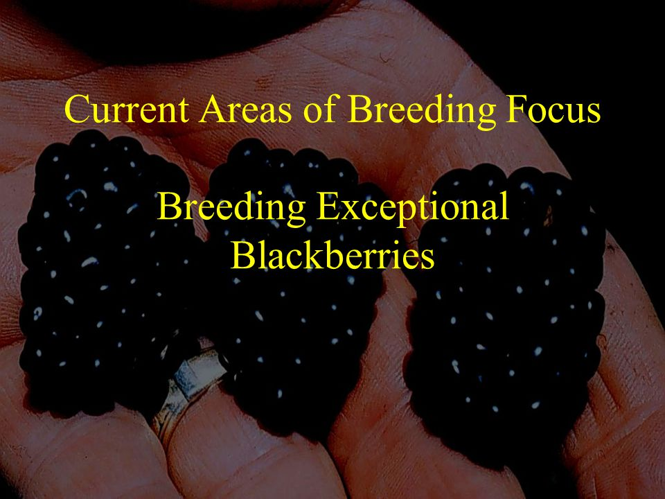 Current Areas of Breeding Focus Breeding Exceptional Blackberries