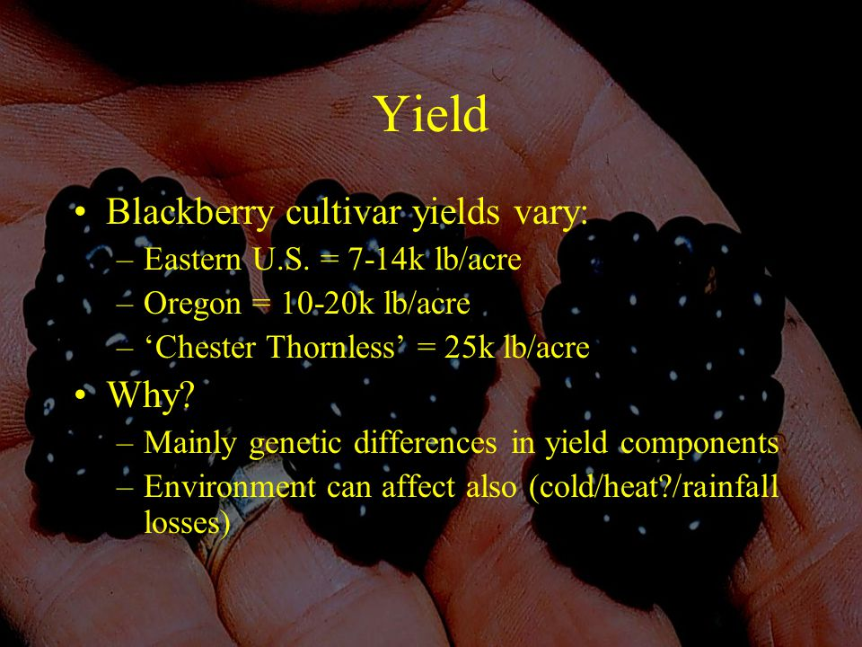 Yield Blackberry cultivar yields vary: –Eastern U.S.