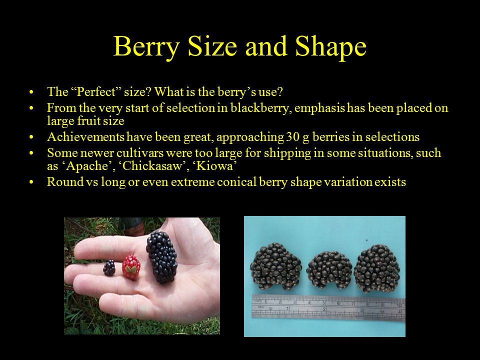 Berry Size and Shape The Perfect size. What is the berry's use.