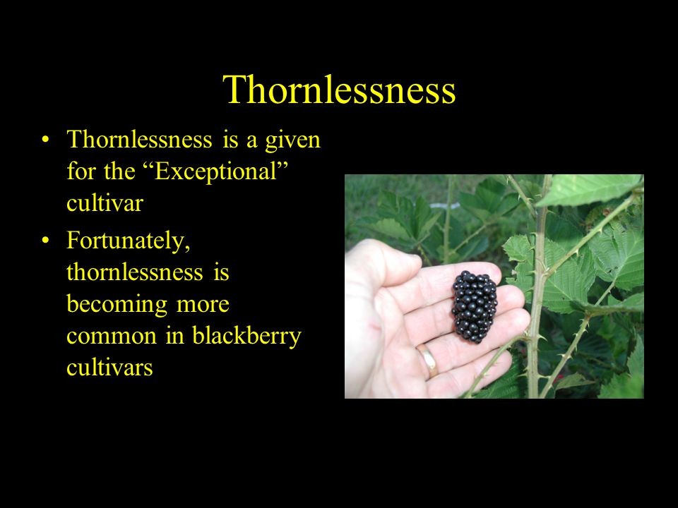 Thornlessness Thornlessness is a given for the Exceptional cultivar Fortunately, thornlessness is becoming more common in blackberry cultivars