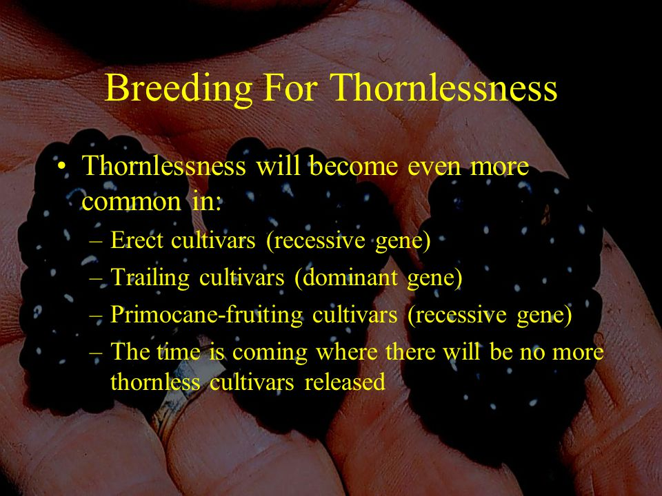 Breeding For Thornlessness Thornlessness will become even more common in: –Erect cultivars (recessive gene) –Trailing cultivars (dominant gene) –Primocane-fruiting cultivars (recessive gene) –The time is coming where there will be no more thornless cultivars released