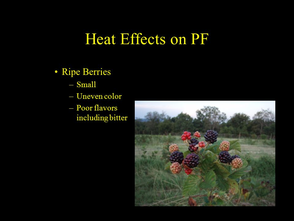 Heat Effects on PF Ripe Berries –Small –Uneven color –Poor flavors including bitter