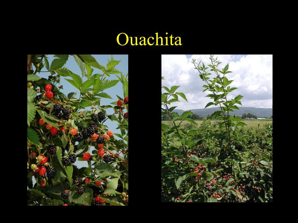 Ouachita