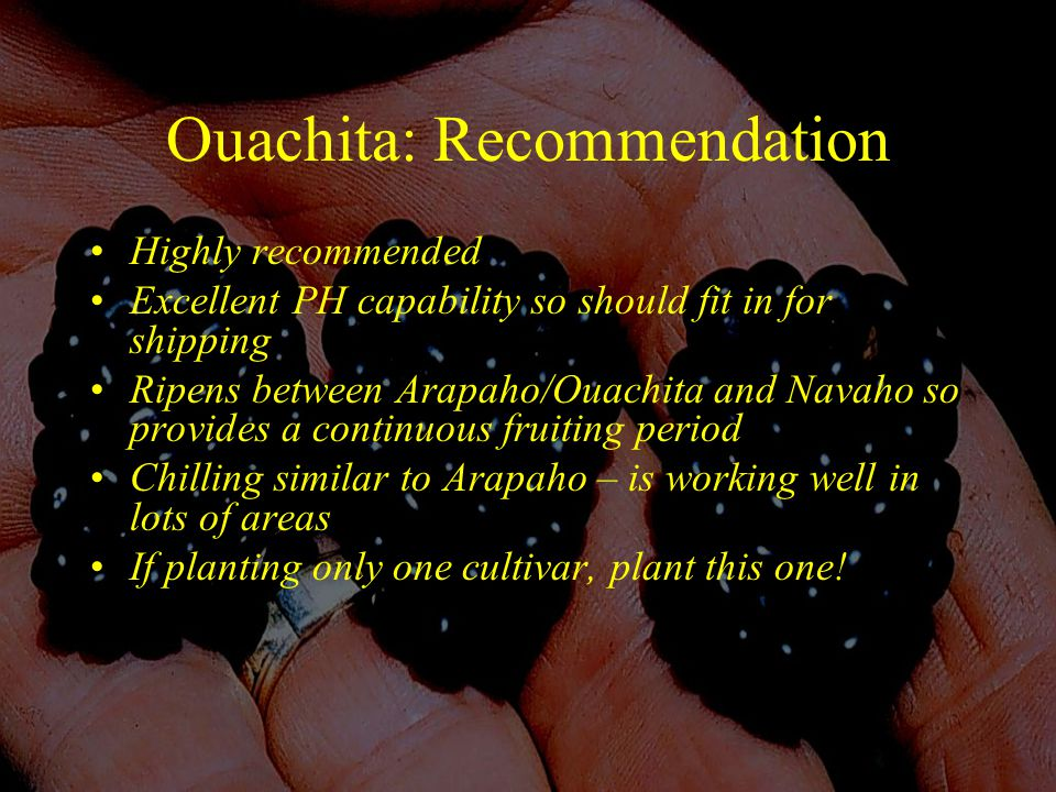 Ouachita: Recommendation Highly recommended Excellent PH capability so should fit in for shipping Ripens between Arapaho/Ouachita and Navaho so provides a continuous fruiting period Chilling similar to Arapaho – is working well in lots of areas If planting only one cultivar, plant this one!