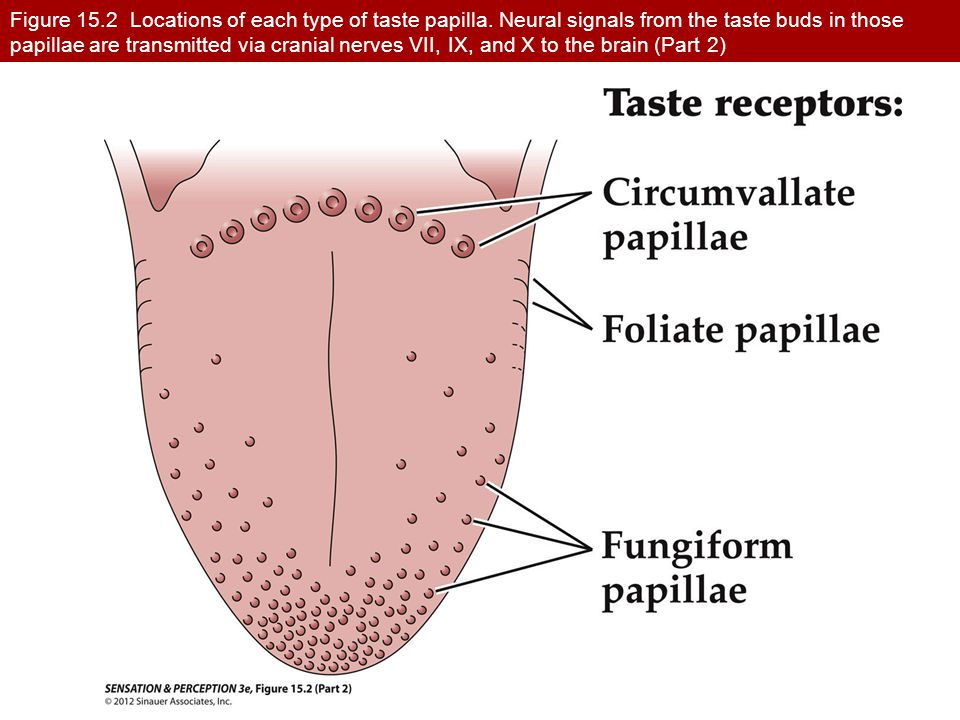 Figure 15.2 Locations of each type of taste papilla. Neural signals from the taste buds in those papillae are transmitted via cranial nerves VII, IX,