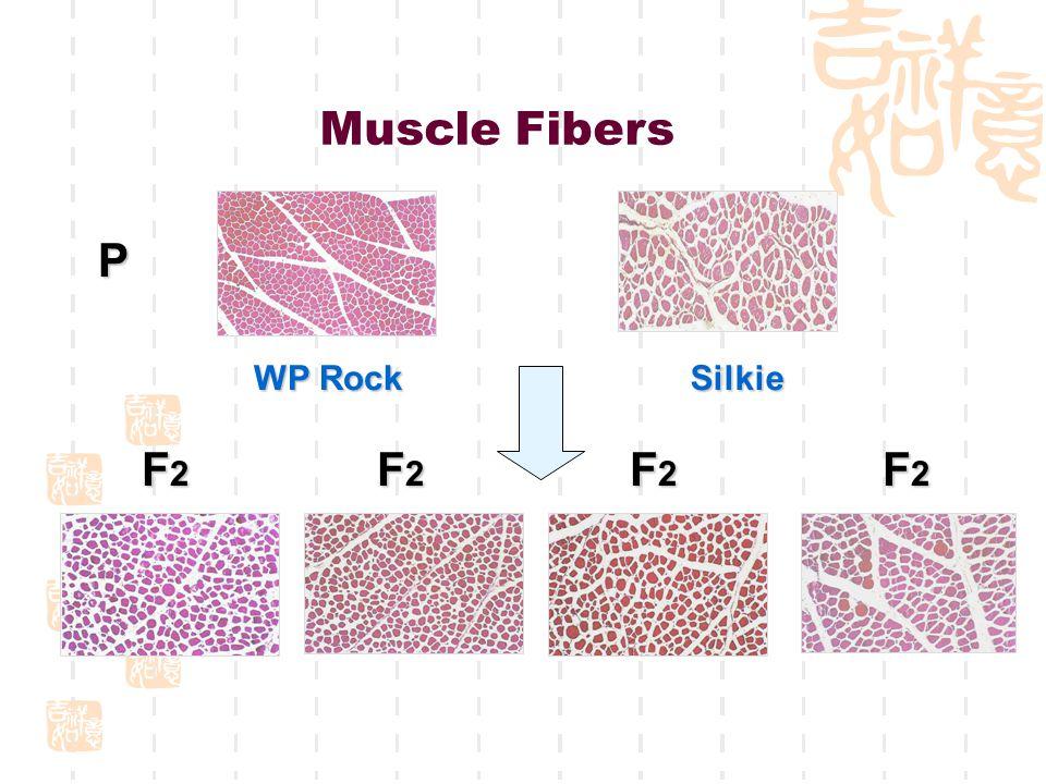 Muscle Fibers P F2F2F2F2 F2F2F2F2 WP Rock Silkie F2F2F2F2 F2F2F2F2