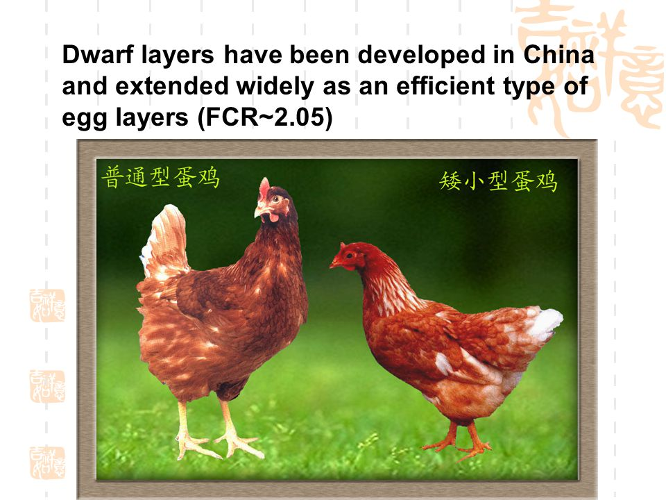 Dwarf layers have been developed in China and extended widely as an efficient type of egg layers (FCR~2.05)