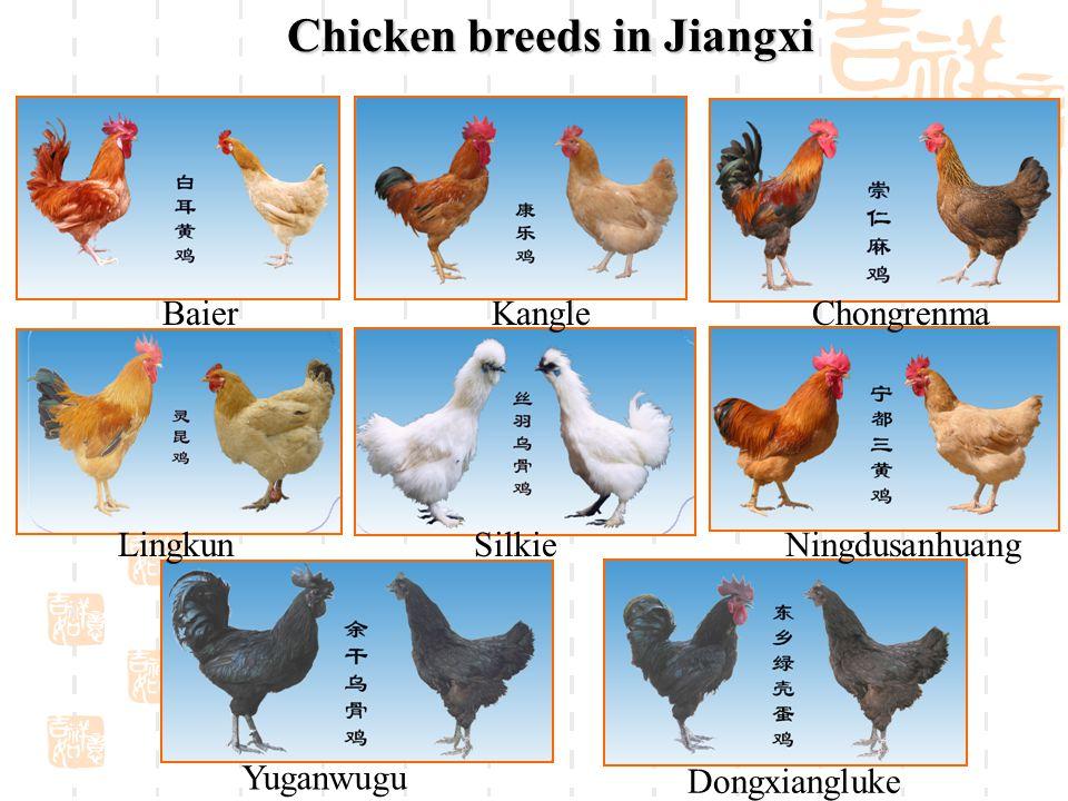 Chicken breeds in Jiangxi Ningdusanhuang Baier Dongxiangluke Yuganwugu SilkieLingkun ChongrenmaKangle