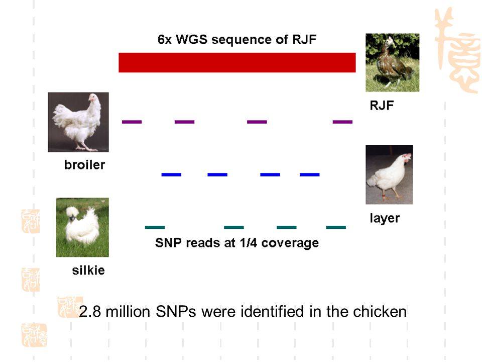 2.8 million SNPs were identified in the chicken