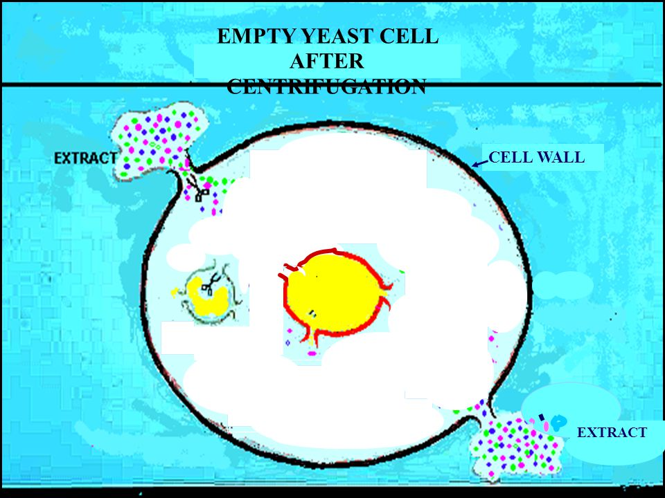 CELL WALL EXTRACT EMPTY YEAST CELL AFTER CENTRIFUGATION