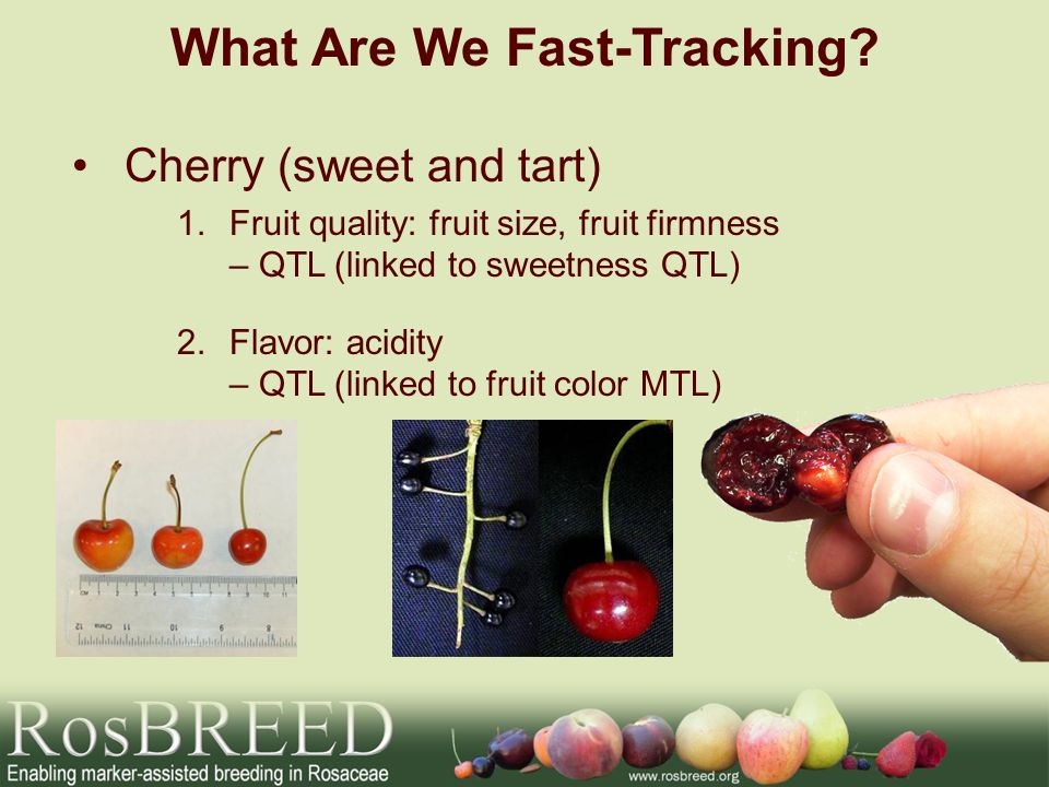 Apple 1.Flavor and Texture: acidity, crispness, juiciness – MTL/QTL (Ma locus) 2.Texture: Firmness – QTL (Md-Exp7 gene) www.solo.be What Are We Fast-Tracking?