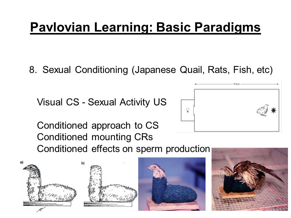 Pavlovian Learning: Basic Paradigms 8. Sexual Conditioning (Japanese Quail, Rats, Fish, etc) Visual CS - Sexual Activity US Conditioned approach to CS