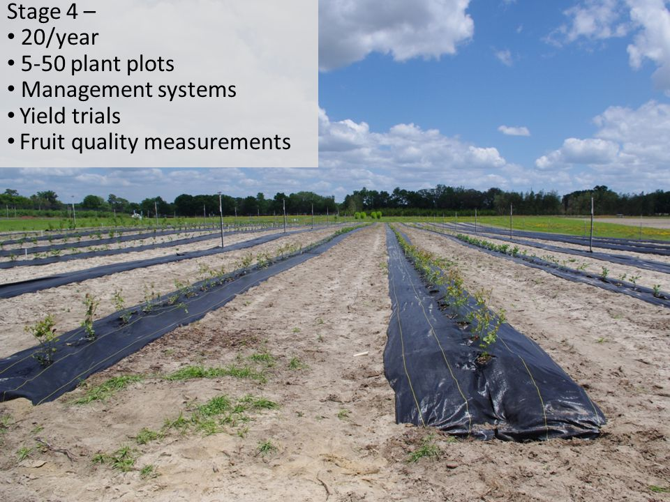 Stage 4 – 20/year 5-50 plant plots Management systems Yield trials Fruit quality measurements