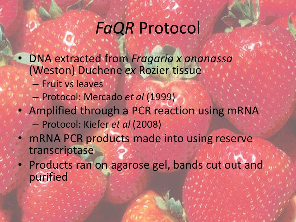 FaQR Protocol DNA extracted from Fragaria x ananassa (Weston) Duchene ex Rozier tissue – Fruit vs leaves – Protocol: Mercado et al (1999) Amplified through a PCR reaction using mRNA – Protocol: Kiefer et al (2008) mRNA PCR products made into using reserve transcriptase Products ran on agarose gel, bands cut out and purified