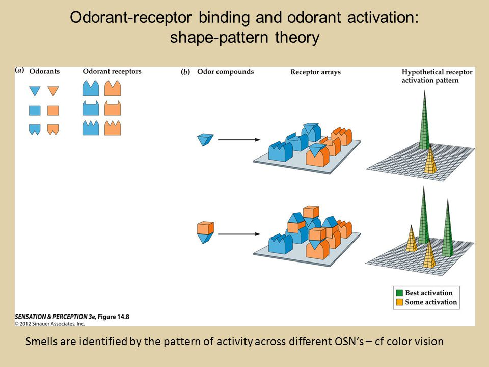 Odorant-receptor binding and odorant activation: shape-pattern theory Smells are identified by the pattern of activity across different OSN's – cf color vision