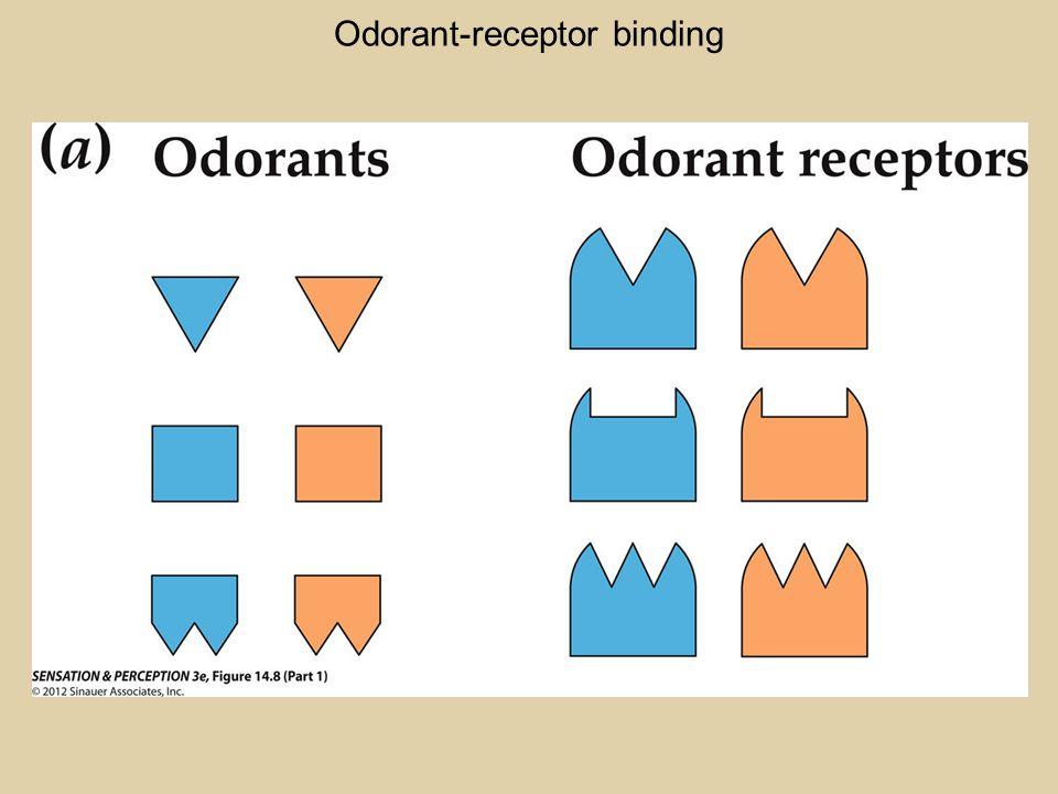 Odorant-receptor binding