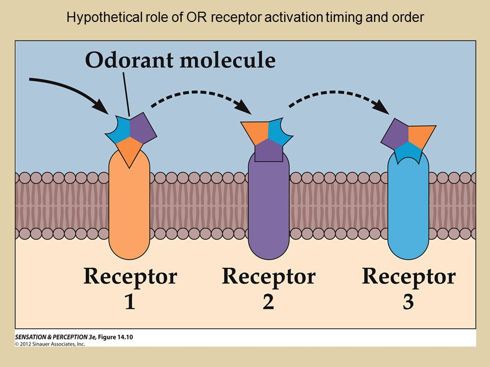 Hypothetical role of OR receptor activation timing and order