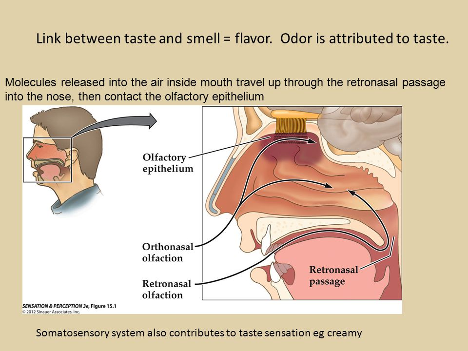 Molecules released into the air inside mouth travel up through the retronasal passage into the nose, then contact the olfactory epithelium Link between taste and smell = flavor.