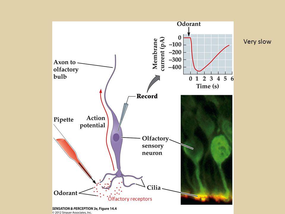 Very slow Olfactory receptors