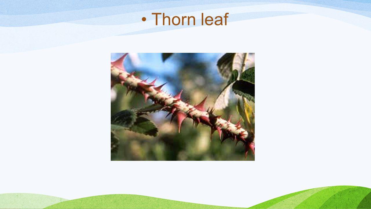 Thorn leaf
