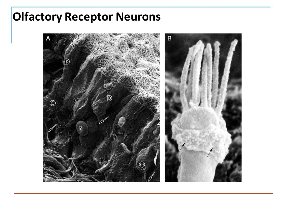 Olfactory Receptor Neurons