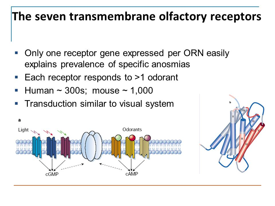 The seven transmembrane olfactory receptors  Only one receptor gene expressed per ORN easily explains prevalence of specific anosmias  Each receptor responds to >1 odorant  Human ~ 300s; mouse ~ 1,000  Transduction similar to visual system