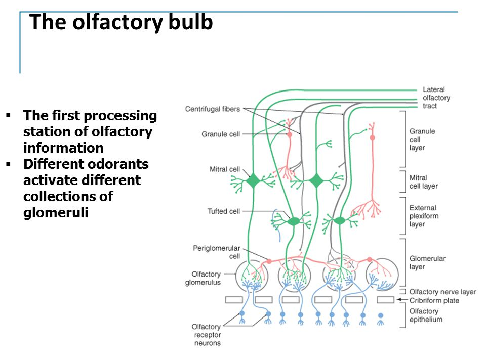The olfactory bulb  The first processing station of olfactory information  Different odorants activate different collections of glomeruli