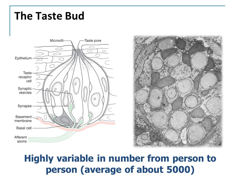 The Taste Bud Highly variable in number from person to person (average of about 5000)