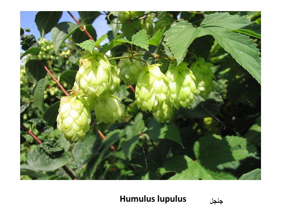 Humulus lupulus جنجل
